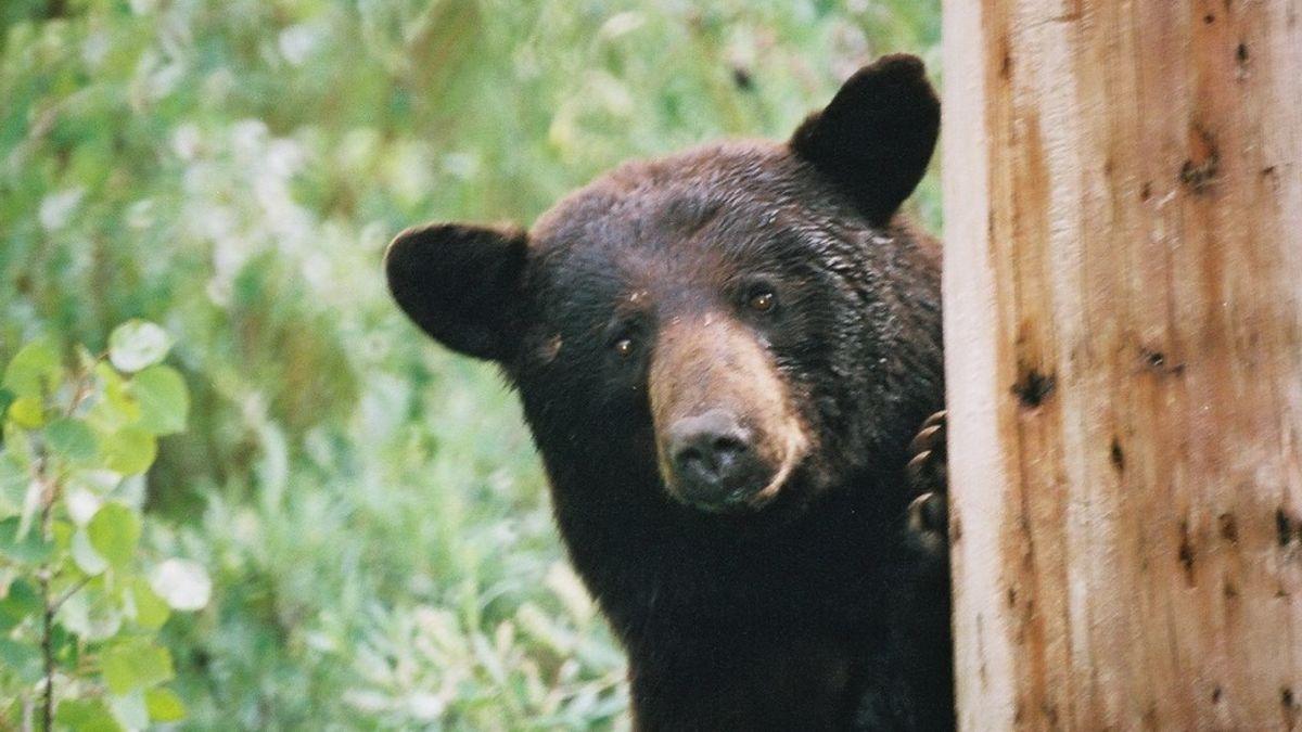 La verdadera historia del oso que engulló 30 kilos cocaína