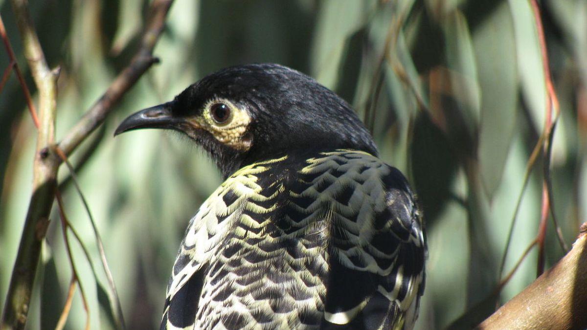 Este ave se extinguirá porque olvidó su canto de apareamiento