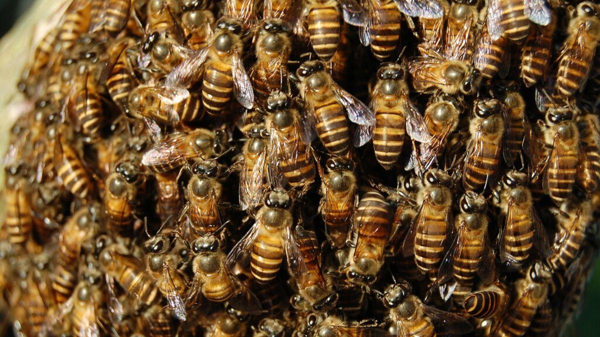 Así se rescata a miles de abejas con las manos desnudas