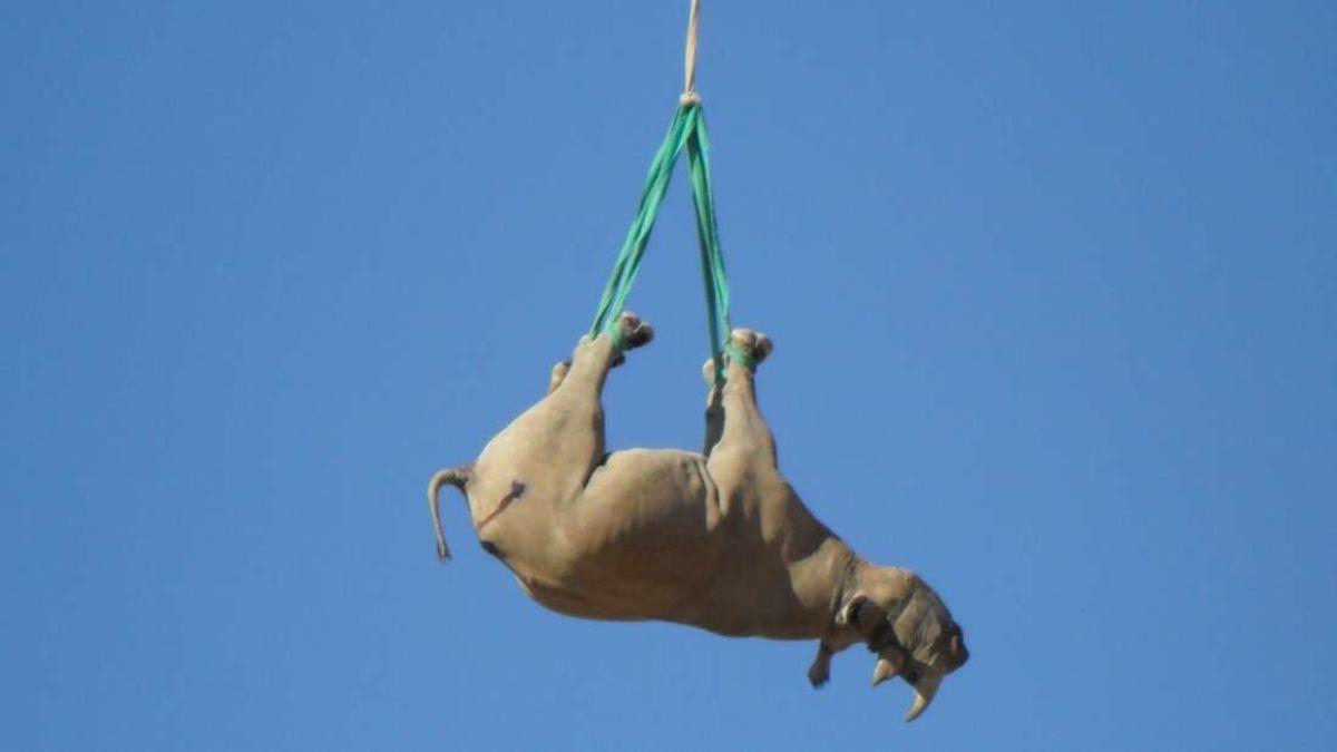 Por qué transportar rinocerontes boca abajo en helicóptero