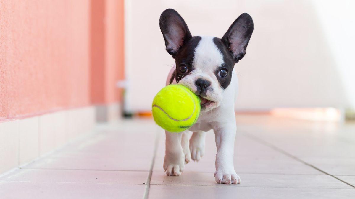 Por qué las pelotas de tenis son peligrosas para los perros