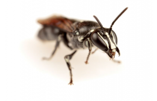 Esta abeja australiana extinta ha reaparecido tras un siglo