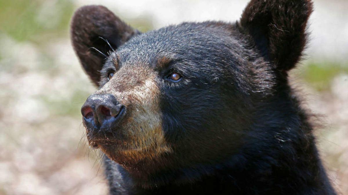 Algo hace que estos osos sean amigables, y luego los mata