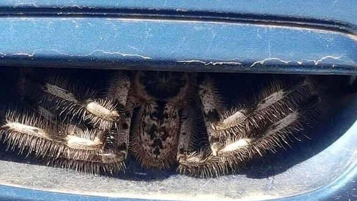 La foto viral de esta araña en un auto es muy real