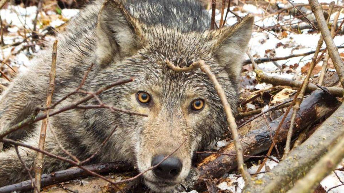 la vida de un lobo salvaje desde una cámara en su collar
