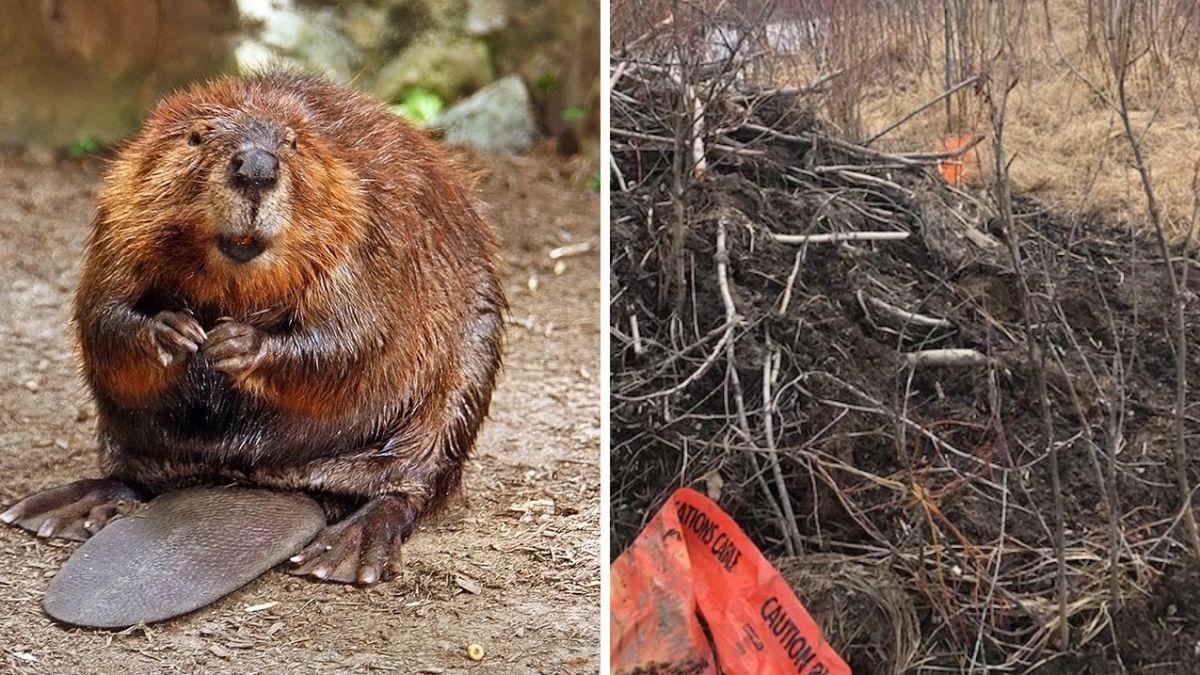 Una familia de castores deja sin internet a 900 personas robando fibra óptica para construir su presa