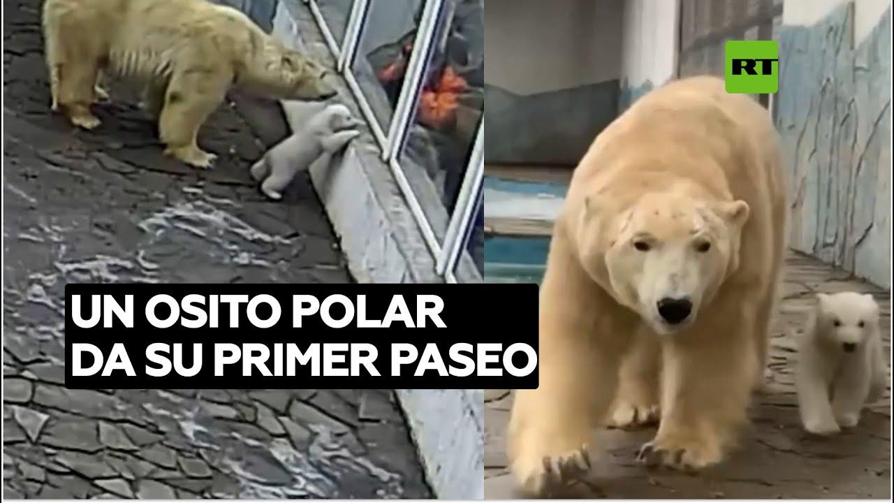 Una osa polar pasea a su cría recién nacida por primera vez