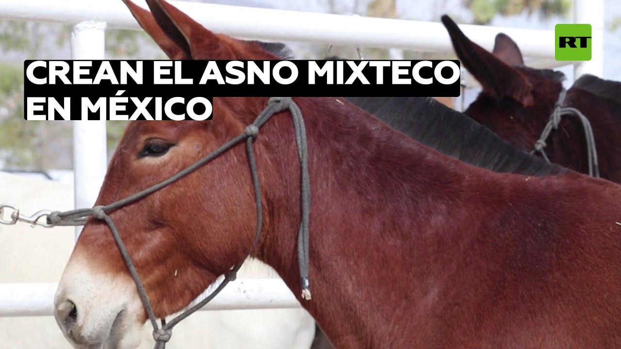 Desarrollan una nueva raza de asnos en México