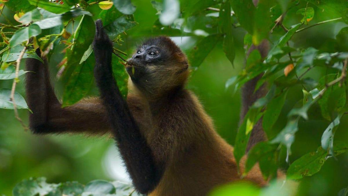 Salta al recinto de los monos araña para darles Cheetos