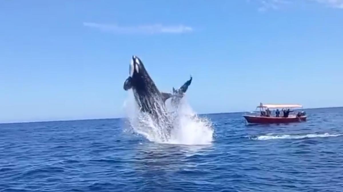 Unos turistas graban como una orca golpea a un delfín en pleno aire