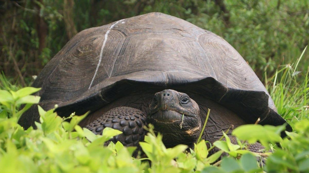 Encuentran una tortuga gigante que se creía extinta, y ahora están buscándole pareja desesperadamente