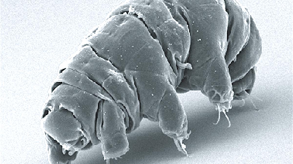 Los tardígrados también sobreviven a colisiones extremas