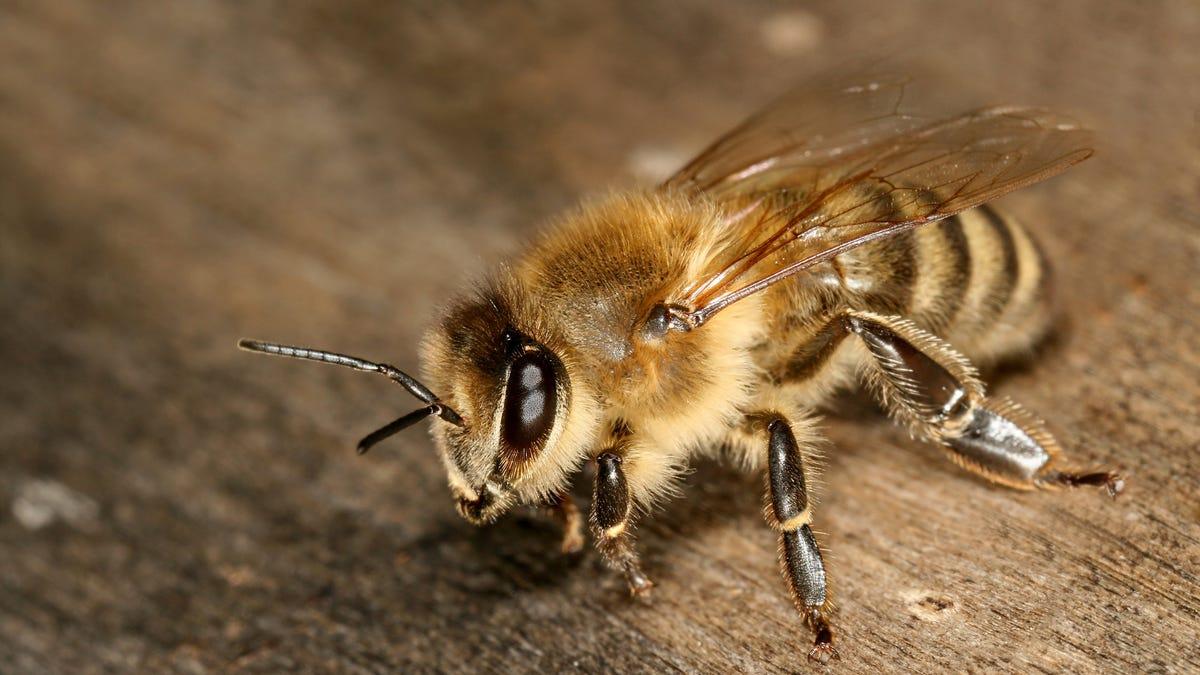 Graban a dos abejas desenroscando juntas un tapón de Fanta