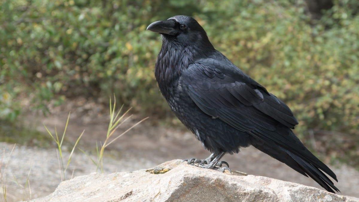 Los cuervos entienden el concepto de cero
