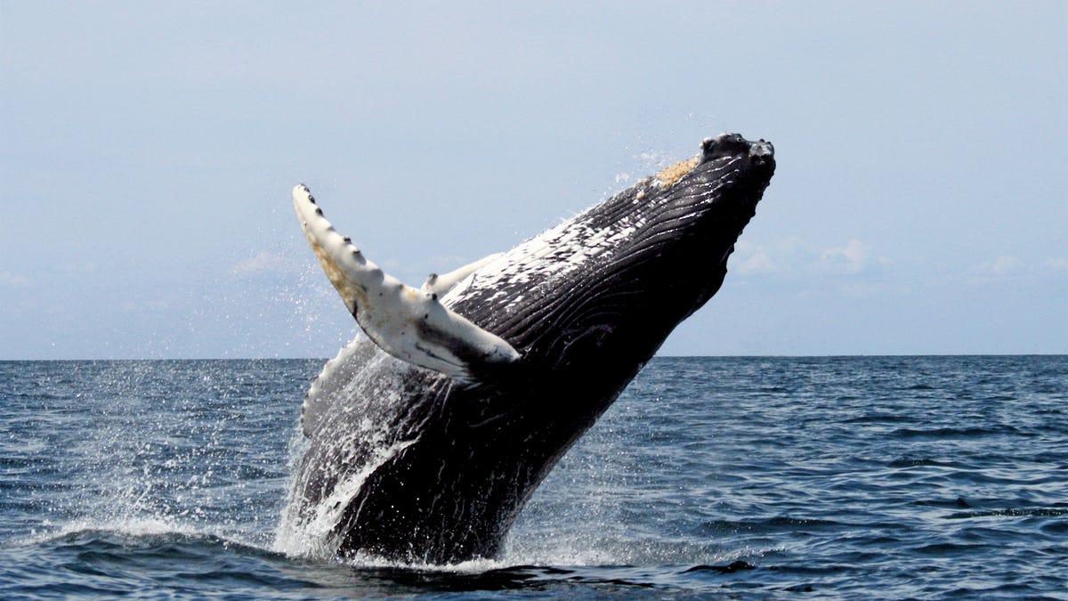 Un buzo reata como una ballena se lo tragó entero