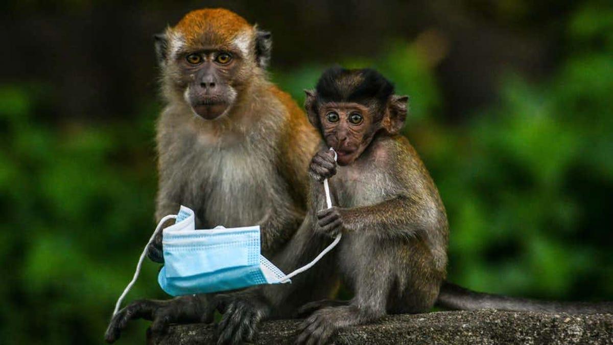 Primera muerte humana en China por el extraño virus del mono B