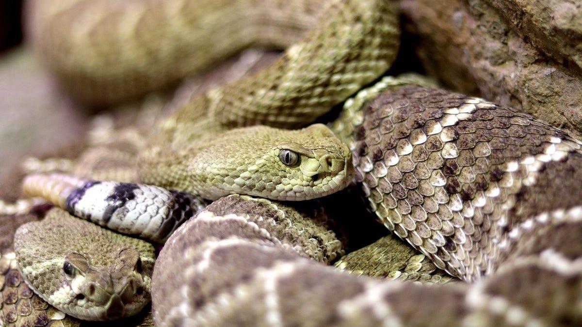 El hombre que se encerró 72 horas con 72 serpientes venenosas