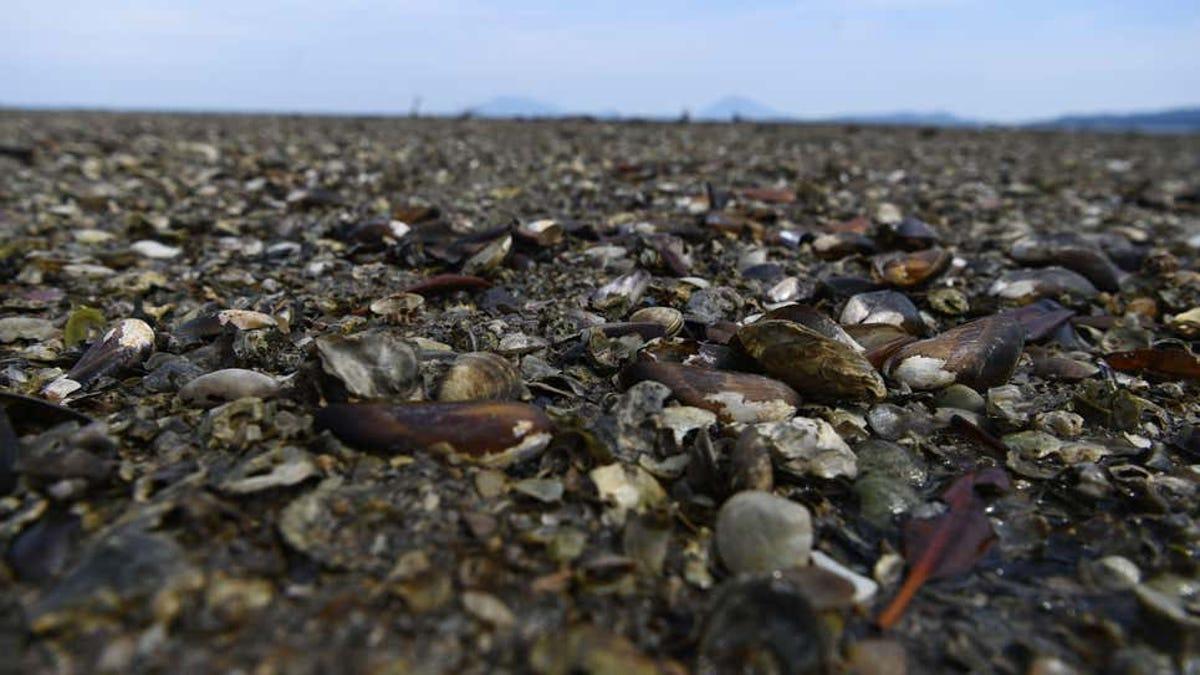 Millones de crustáceos murieron en la ola de calor del Pacífico