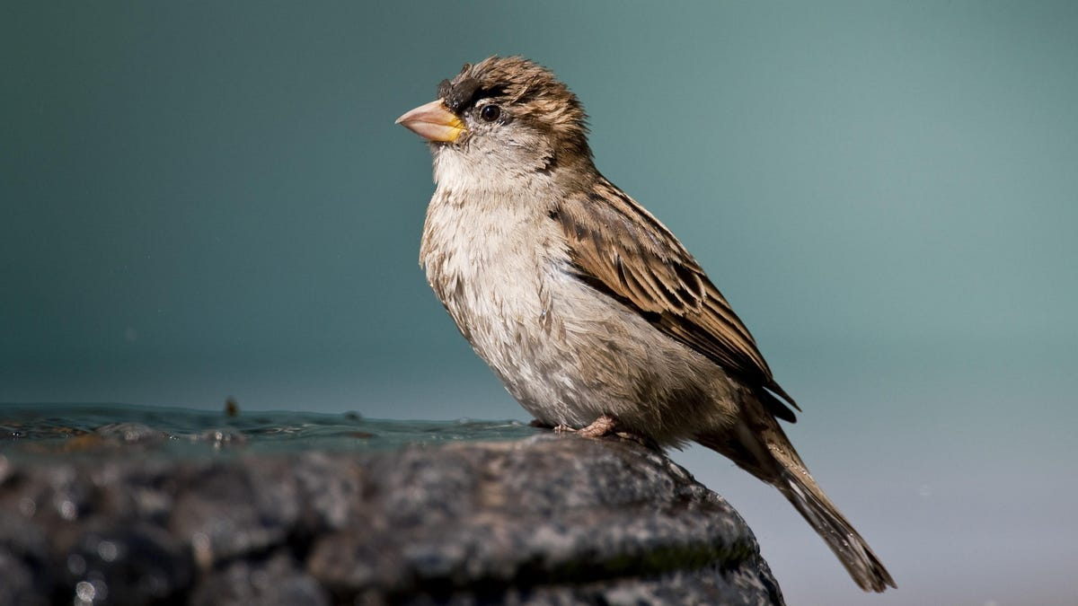 Los pájaros cantores se están muriendo, y nadie sabe por qué