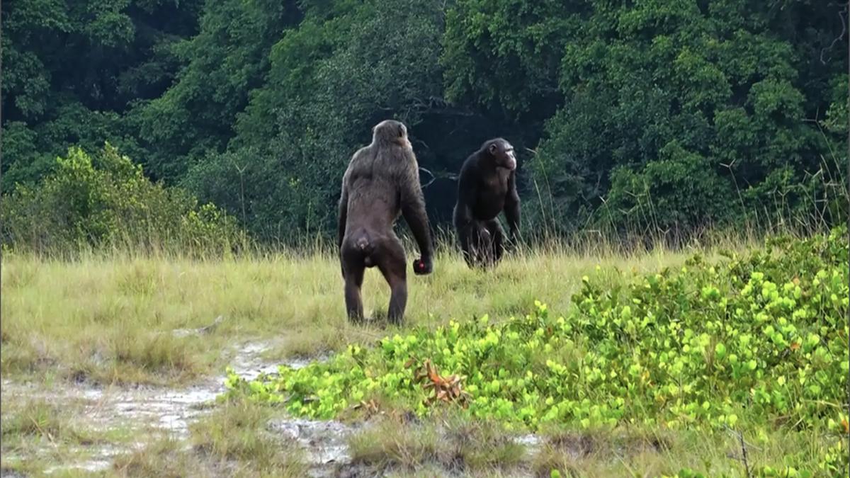 Por primera vez, vemos cómo chimpancés matan a gorilas