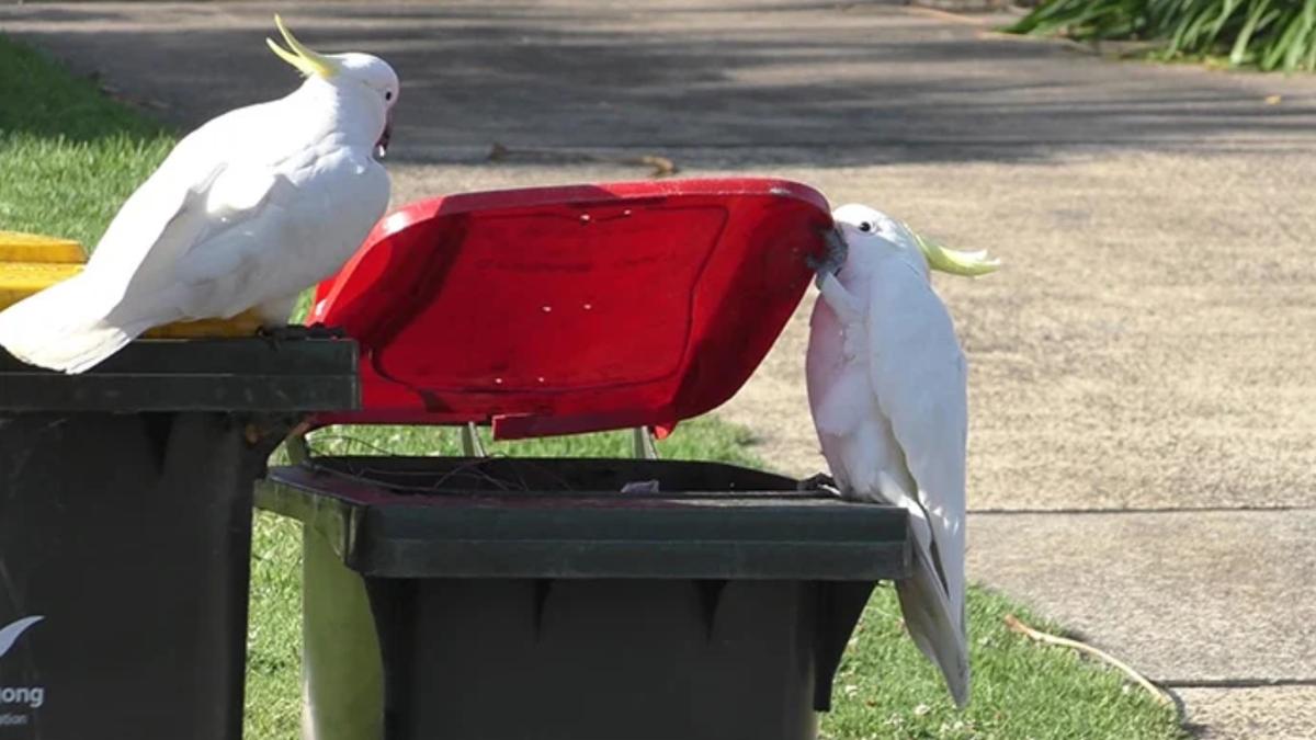 Las cacatúas en Sidney se enseñan unas a otras a vandalizar