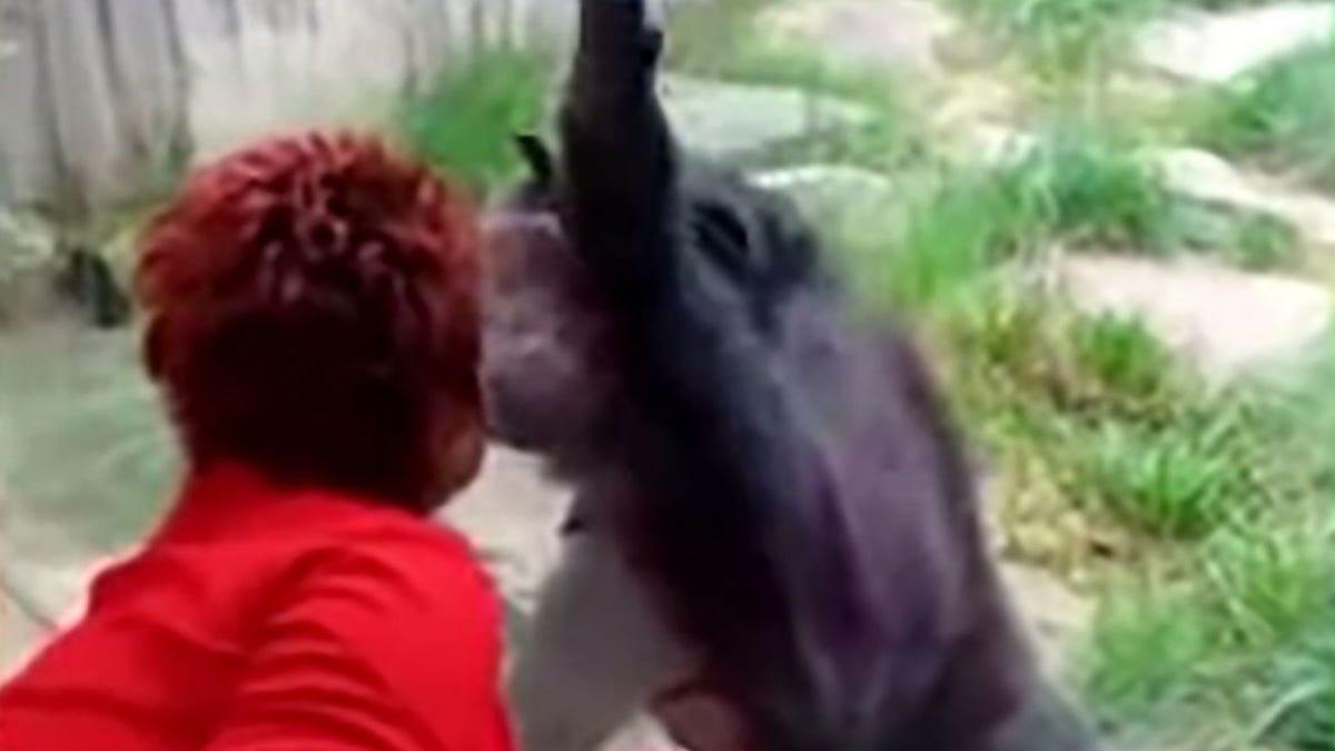 Esta mujer mantenía una aventura con un chimpancé en un zoo