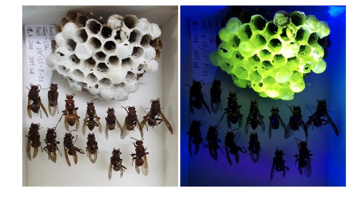 Las avispas están construyendo nidos fluorescentes, pero ¿por qué?