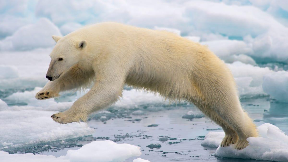 Los osos polares también podrían usar armas