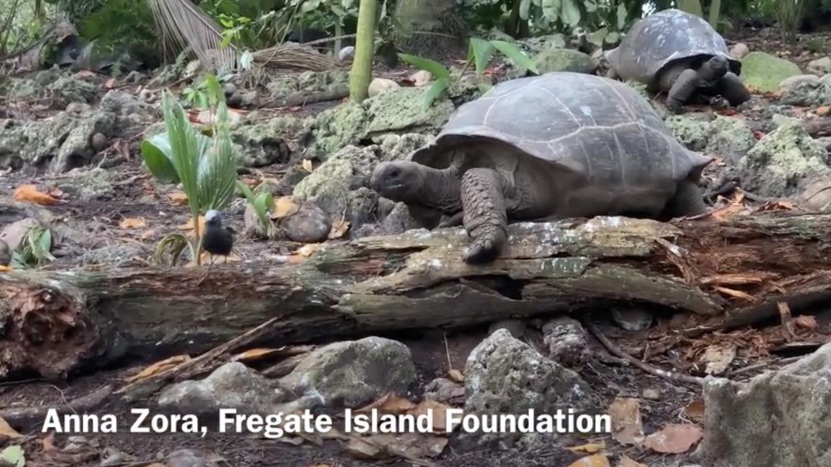 Consiguen grabar cómo una tortuga gigante mata y se come a un pájaro