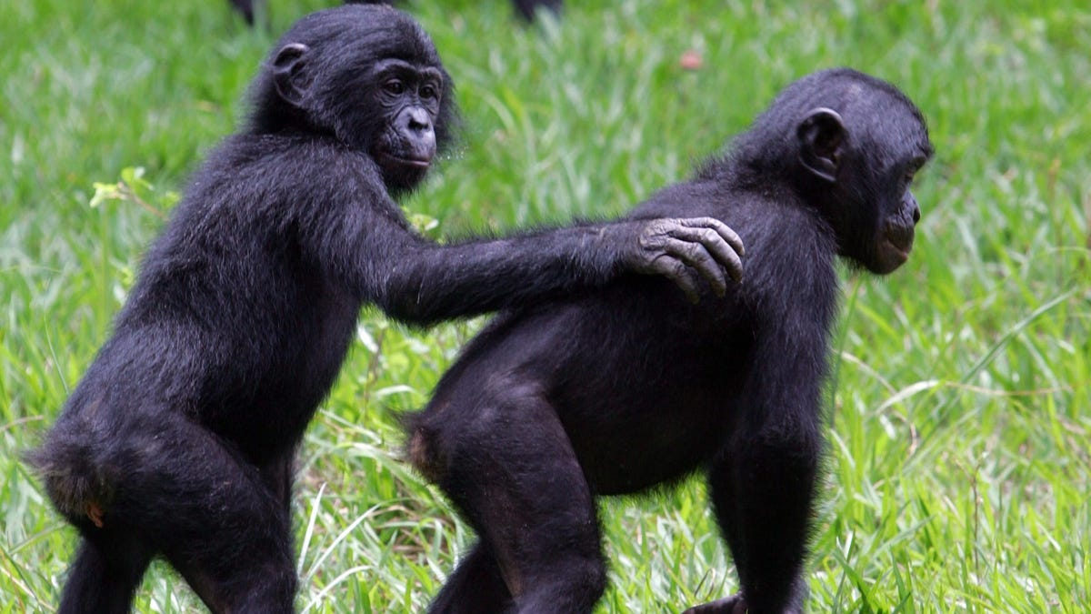 Descubren que los bonobos y los chimpancés se dicen hola y adiós
