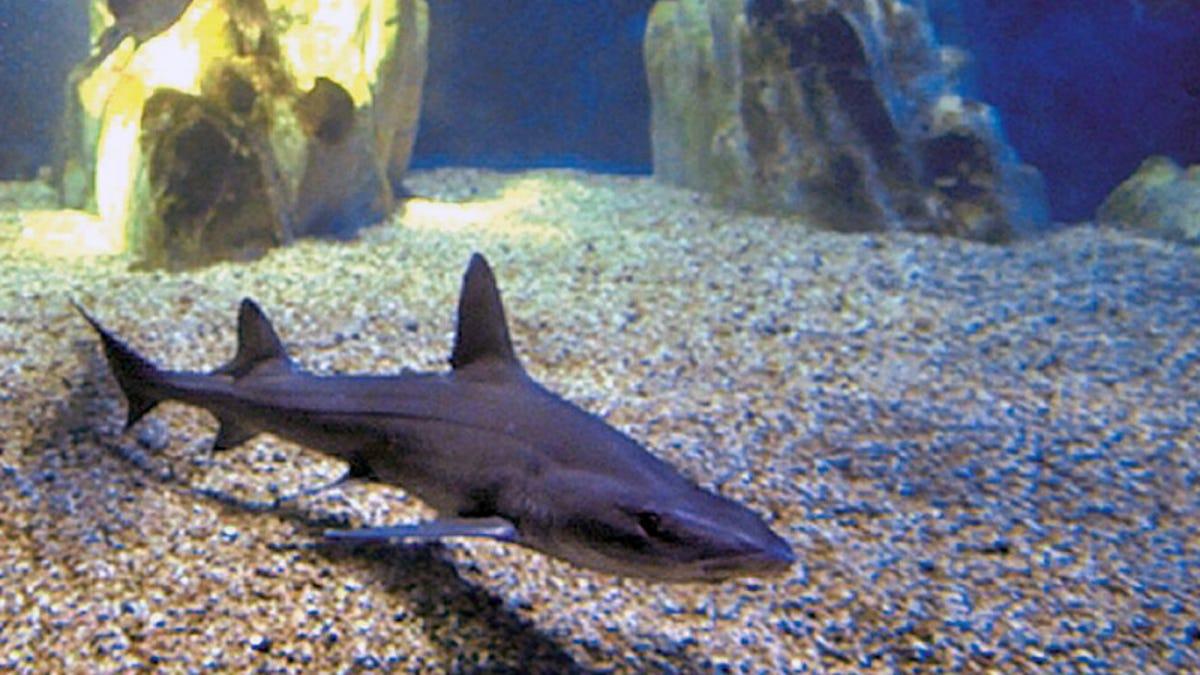 Nace un tiburón en un acuario en el que solo había hembras