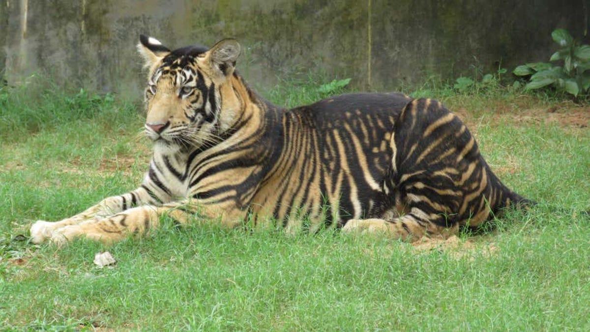 Por qué los tigres de la India se ven con pelaje más oscuro