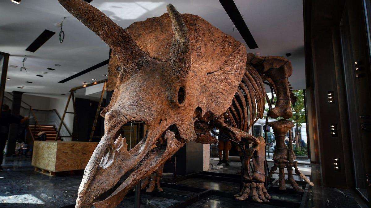 ¿Tienes más de un millón en el banco? Ahora puedes comprar el fósil de triceratops más grande del mundo