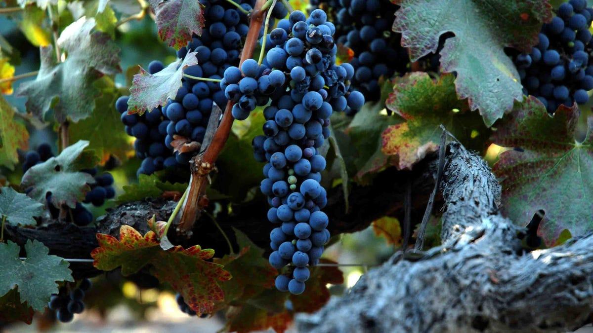 La vid de uva más antigua del mundo existe desde 1570