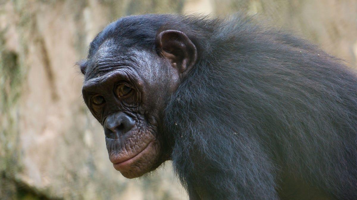 chimpancé se masturba con un objeto creado por humanos