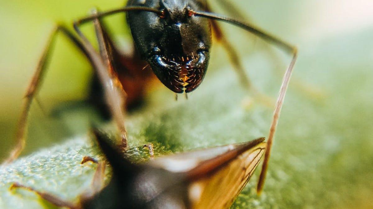 Descubren que las hormigas tienen dientes recubiertos de metal