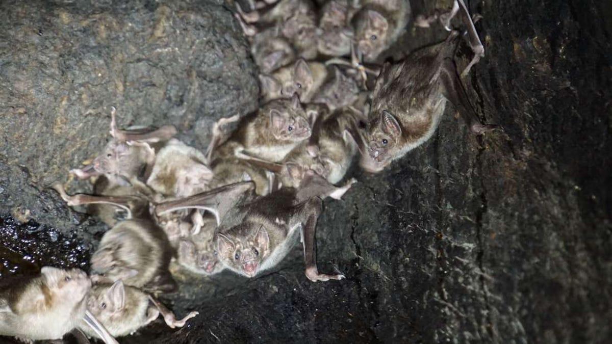 Los murciélagos vampiro salen en busca de sangre en grupos