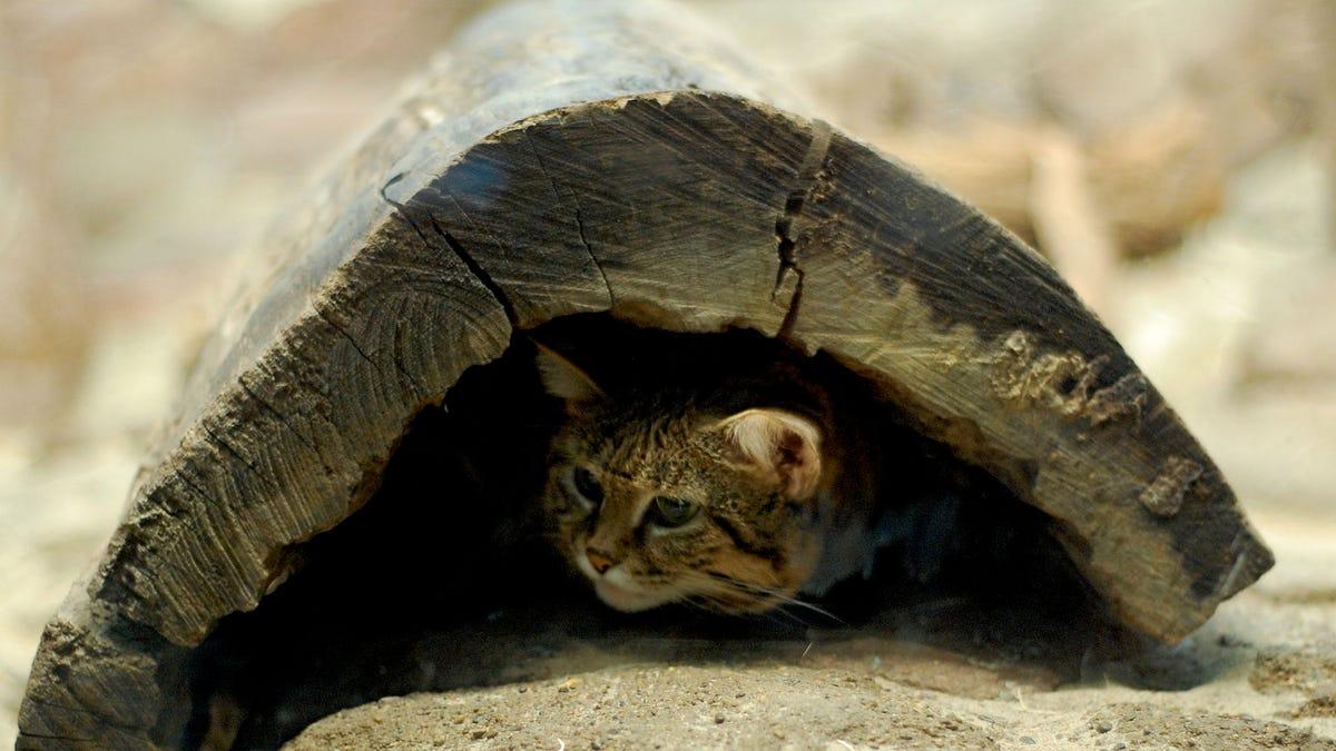 Este adorable gato es el felino más mortífero del planeta