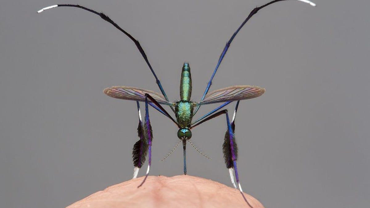 Cuidado si te encuentras esta hermosa criatura, es un mosquito