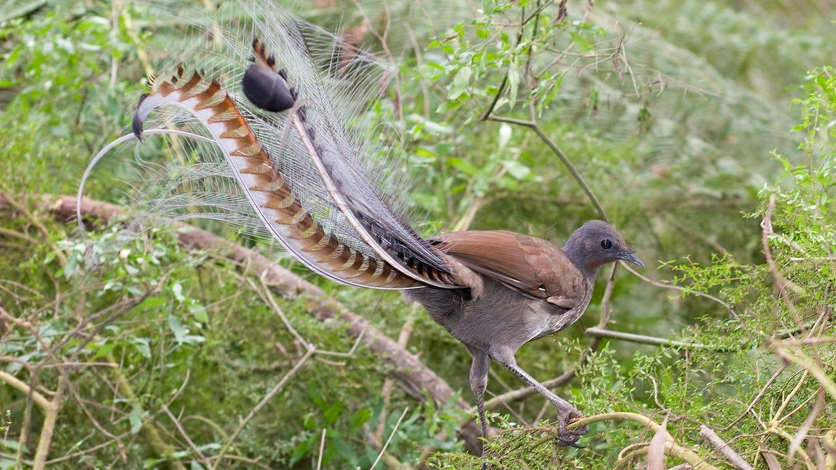 Este pájaro imita a la perfección el llanto de un bebé humano