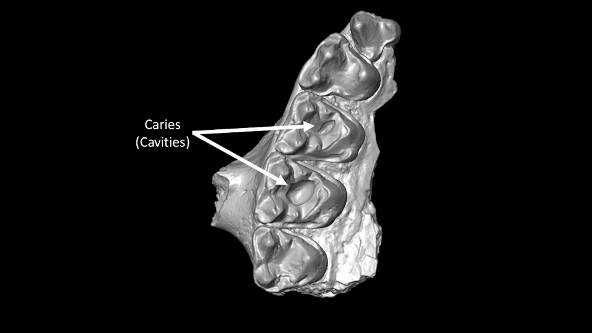 Científicos descubren las caries más antiguas en los mamíferos