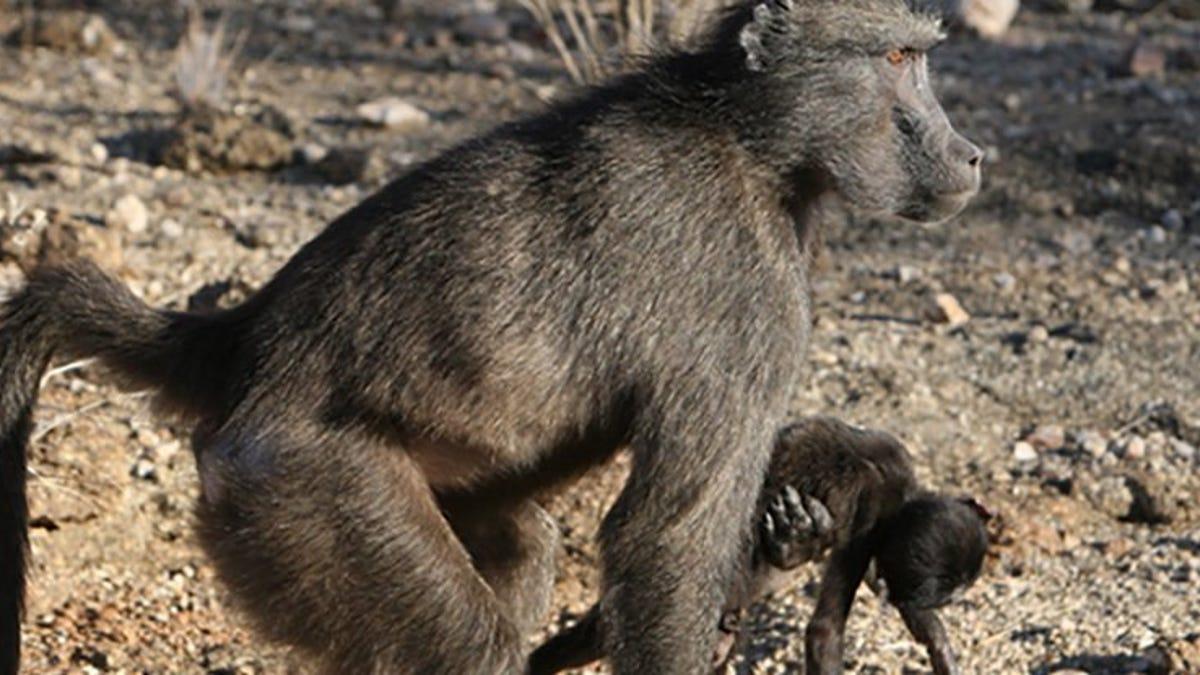 La razón por la que los primates cargan a sus bebés muertos