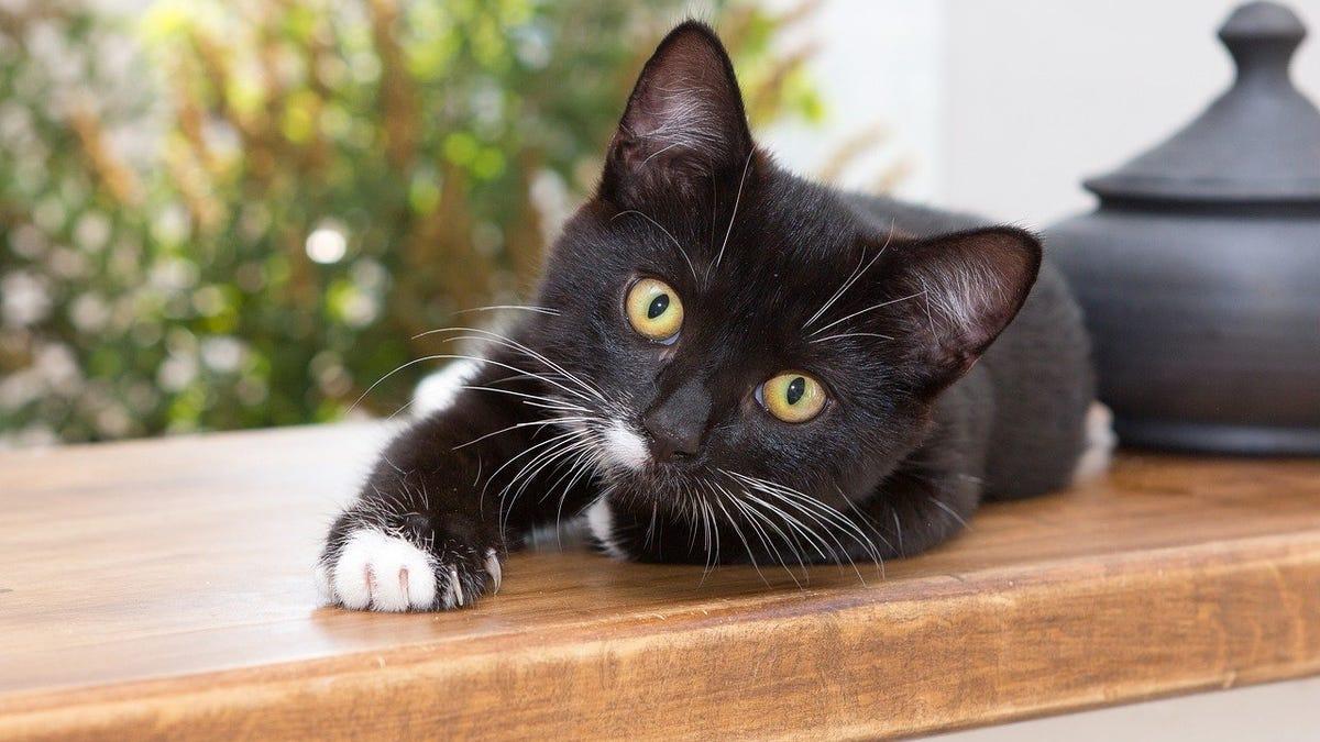 Los rasgos de los gatos se pueden definir en estos 7 tipos
