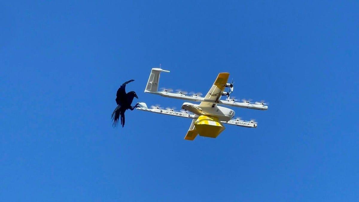 Retiran temporalmente los drones de reparto en Australia porque los cuervos los atacaban