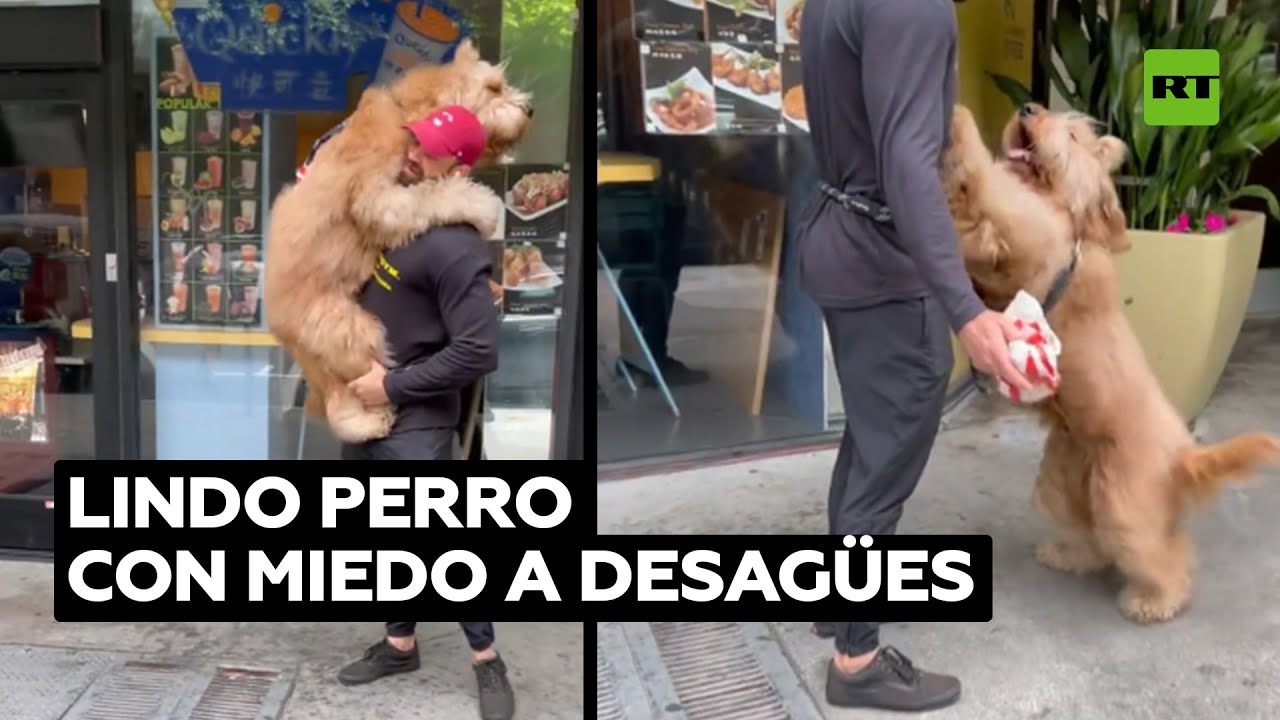 Enorme perro asustado por los desagües pide que lo lleven en brazos