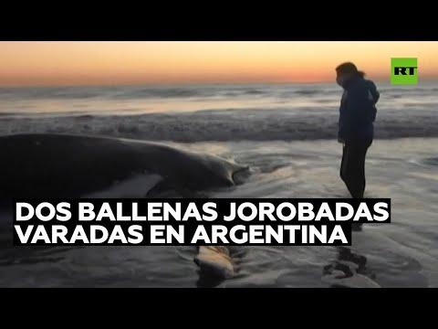 Dos enormes ballenas jorobadas varadas en la costa de Argentina son rescatadas y devueltas al mar