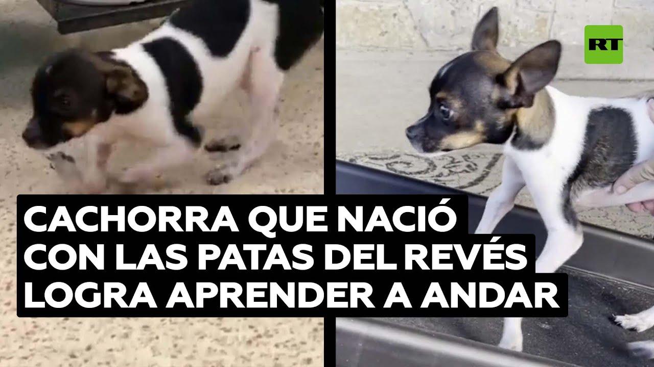 Una perra que nació con las patas al revés aprende a caminar @RT Play en Español