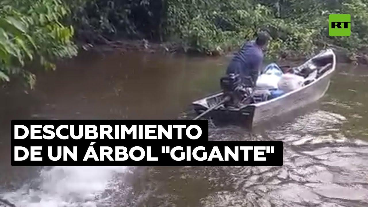 Investigadores encuentran un árbol gigante en una zona recónditaa de la Amazonía