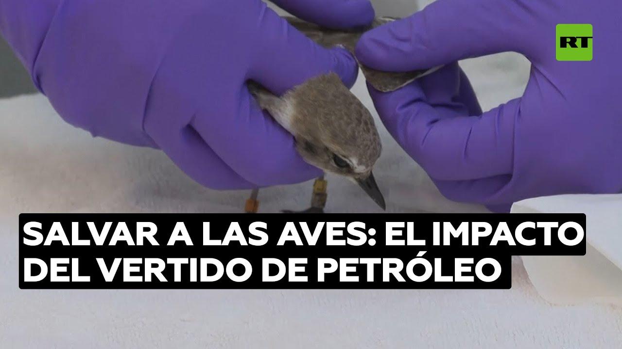 Centro veterinario atiende a las aves encontradas en el vertido de petróleo@RT Play en Español