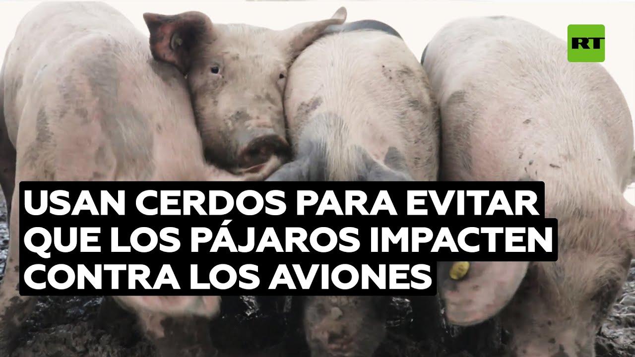 Países Bajos usa cerdos para prevenir choques entre aviones y pájaros @RT Play en Español